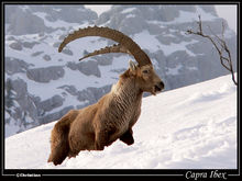 比利牛斯北山羊
